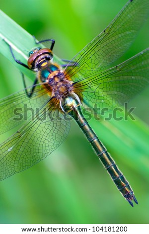 A dragonfly (Cordulia aenea) warming its wings in the early morning sun