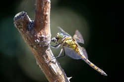 A dragonfly eating a fly. This yellow dragonfly just caught its prey and is now eating it. These insects are lethal predator.