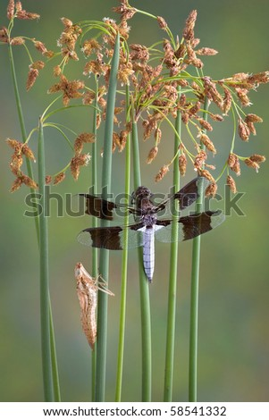 A dragonfly is perched on some wild weeds near a pond. A dragonfly nymph skin is left on a nearby stem.