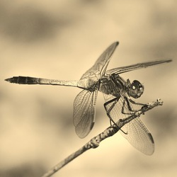 A dragonfly macro in sepia