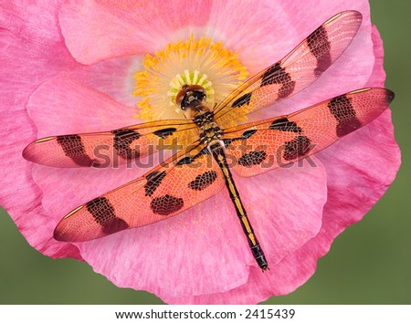 A dragonfly rests on an open poppy.