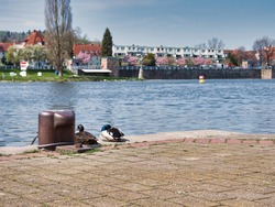 A drake and a hen mallard ducks on paved waterside ground in the city of Hameln near the River Wesen in Germany