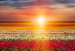 A Dramatic landscape with sunrise over tulip field