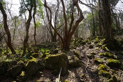 a dreary winter forest with mossy rocks and bare trees