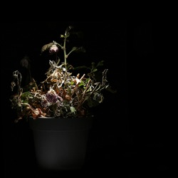 A dried potted indoor flower is illuminated by a bright white light in the dark. A wilted flower in a flower pot on a black background. A dead plant.