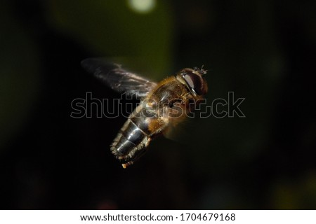 A Drone Fly (Eristalis tenax) hoverfly hovering in the air. Stockfoto ©
