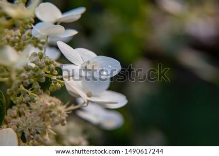 A drop of dew. Drop of dew on a white flower petal closeup #1490617244