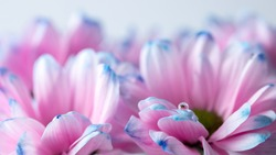 A drop on petals of pink flowers close up, abstract floral background in soft pink and blue colors, romance mood
