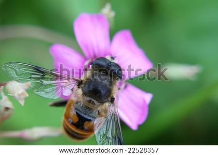 a drosophila is collecting honey