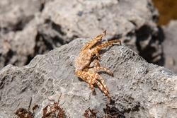 A dry, dead sally lightfoot crab, or grapsus grapsus crab, sits on a gray rock on Bathsheba beach in Barbados. Carapace is white and orange, speckled, eyes dried out. Hollow shell, soft-focus bokeh.