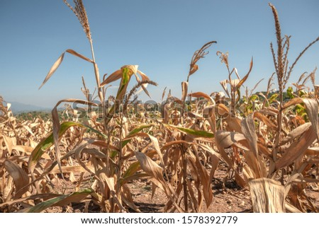 A dry, dry corn plantation, in the midst of mountains