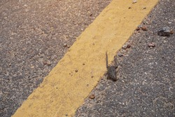 A dry frog carcass died in an accident from a road crossing.
