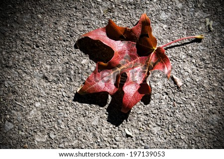 A dry red maple leaf curled up on a gravel surface.