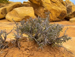 a dry thorny plant in a yellow desert with big stones in the background