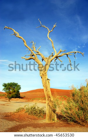 a Dry tree in the Namib dessert in Namibia in Africa