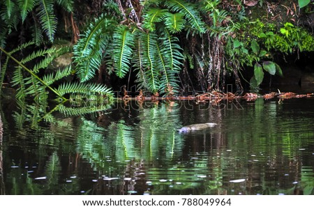 A duck-billed platypus (Ornithorhynchus anatinus) swims in a river in northeast Tasmania.