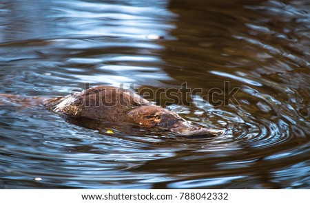 A duck-billed platypus (Ornithorhynchus anatinus) swims in the Tyenna River in Mt. Field National Park, Tasmania.