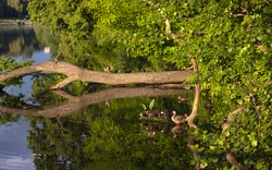 A duck family with little ducklings are sitting on a branch that has fallen into the river. Beautiful nature