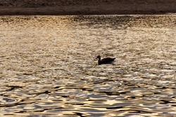 A duck floating on the surface of the river at dusk