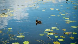 A duck relaxes in a pond on a lake on a Sunny day. Water lilies are swaying in the background.