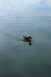 A duck swims on the flat blue water of the reservoir, calm water without waves, a warm summer day, swims away from the coast, is not afraid, aquatic plants are visible in the distance, wild duck