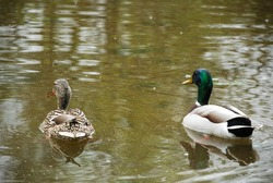 A duck with a green head and feathers, floats on a calm lake.  Wild ducks and geese are the most beautiful birds.  The duck carries the letter and sails on the river in German. Spring sun and swimming