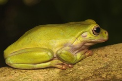 A dumpy frog (Litoria caerulea) is looking for prey in the bushes.