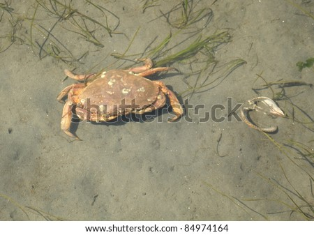 A dungeness crab hunts for food in shallow water at low tide amongst the sea grass. Dungeness crabs are found along the west coast of the USA and Canada in the Pacific Ocean.