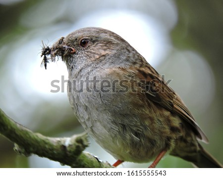 Photo of  A dunnock bird with an insect in its beak