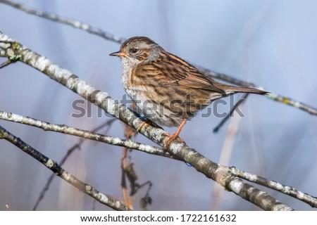 Photo of  A Dunnock is sitting on a beak