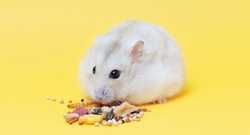 A dwarf fluffy hamster eats dry food on yellow background close-up.