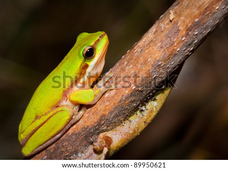 A Dwarf green tree frog (Litoria bicolor) sitting on a branch