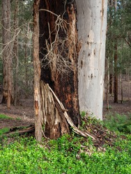 A dying tree in the forest at Donnelly River in south-western Australia.