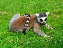 A dynamic pose from a cute lemur who wants to be a model.
