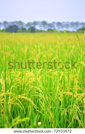 A ear of paddy is growing in the field