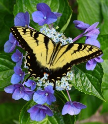 A Eastern Tiger Swallowtail butterfly feeding on a Hydrangea bloom with room for your text