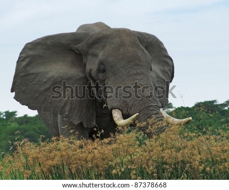 a elephant behind high grassy vegetation in Uganda (Africa)