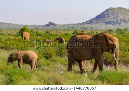 A elephant family in the bush of the samburu national park. The elephant family in the bush of the samburu national park Stok fotoğraf ©