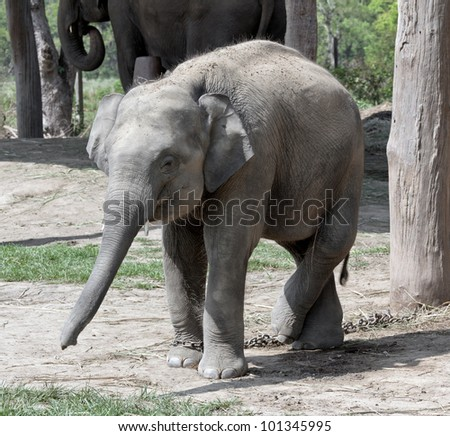 A elephants  - Royal Chitwan National Park in Nepal - stock photo