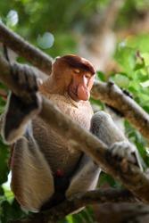A endangered proboscis monkey sleeping on a tree in the jungle of borneo, Malaysia.