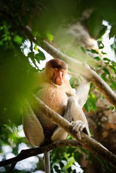 A endangered proboscis monkey sleeping on a tree in the jungle of Borneo, Malaysia