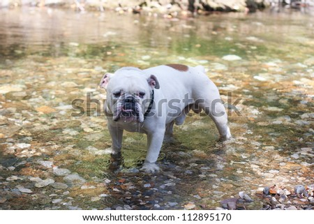 A English Bulldog alone in a river
