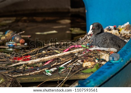 A Eurasian Coot sits on a nest built inside a half-sunk boat in an Amsterdam canal. The nest is filled and made with sticks and a variety of human litter, including plastic straws and bottles.