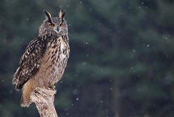 A Eurasian Eagle Owl (Bubo bubo) sitting a perch with snow falling in the background.