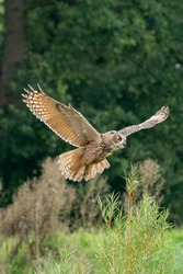 A Eurasian Eagle Owl or Eagle Owl. Flies into the forest with spread wings and open mouth. Looking for food in the grass. With orange eyes. Seen from the front
