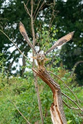 A Eurasian Eagle Owl or Eagle Owl Flying above a tree stump in the forest. With spread wings and claws out, just above the stump. Seen from the front