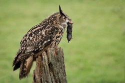 A eurasian eagle owl profile image with a mole in its beak perched on an old post in the middle of a field with a natural green background