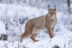 A eurasian lynx in winter