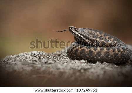 A European Adder. Basking on a lichen covered rock and tasting the air with its' tongue.