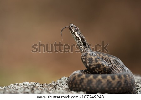 A European Adder. The snakes' attention has been caught by the photographers left hand which is just above the top of the frame. The snake is scenting the hand by tasting the air with its' tongue.